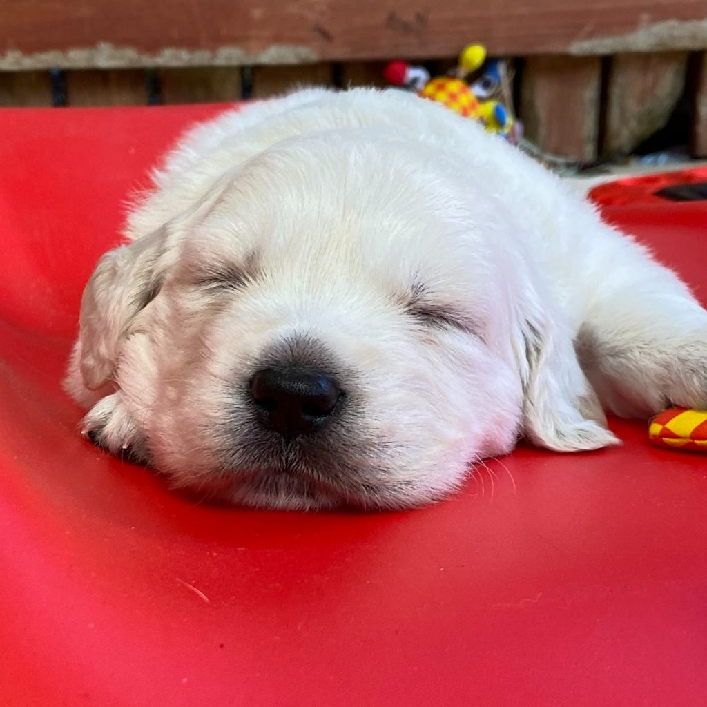 Picture of Khaya, RedHead Communication's Office Pup. He is a white / yellow Labrador puppy. RedHead Communications is a management consultancy specialising in cultural capability, diversity, and inclusion.