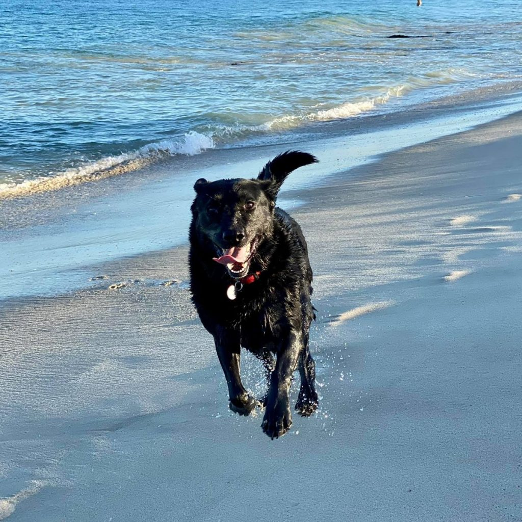 Picture of Lucky, RedHead Communication's Office Doggo, running along the beach. He is a black Labrador. RedHead Communications is a management consultancy specialising in cultural capability, diversity, and inclusion.